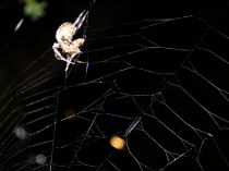 Araneus - disturbed sleep at